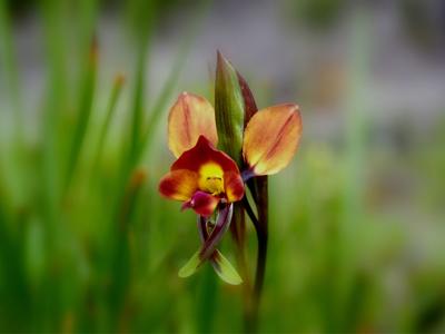 Donkey-Orchid-Revegetation