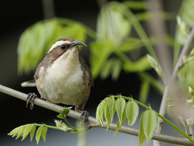 Grey-Crowned-Babbler