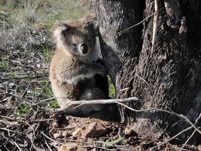 Koala at Sheep Pen Creek